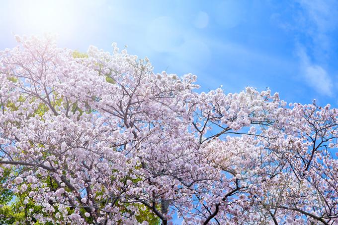 空と太陽と桜(桜 空の背景フリー画像)