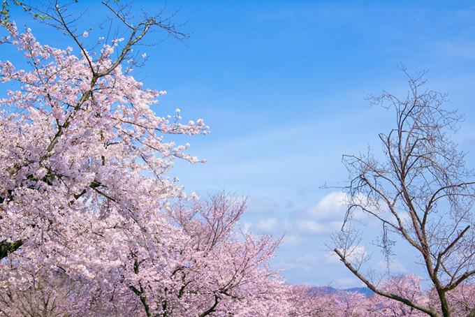 青空の下の桜(桜 ピンク)