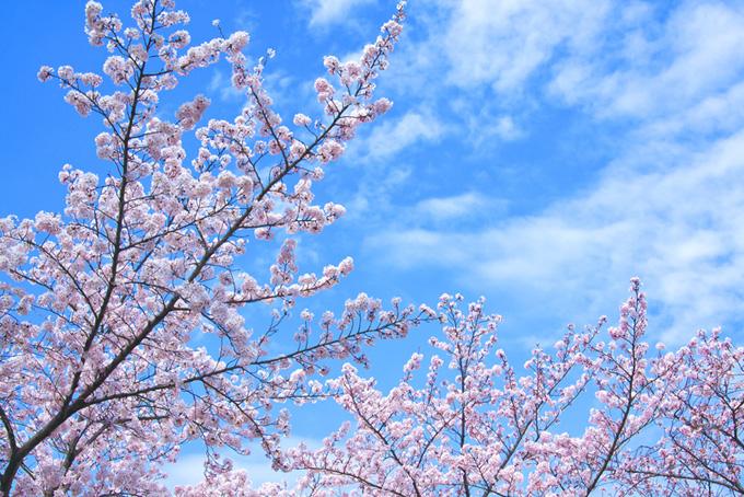 花咲く枝と青い空(桜 ピンク)