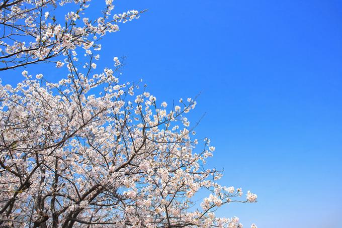 さくらと青空のグラデーション(桜 壁紙の画像)