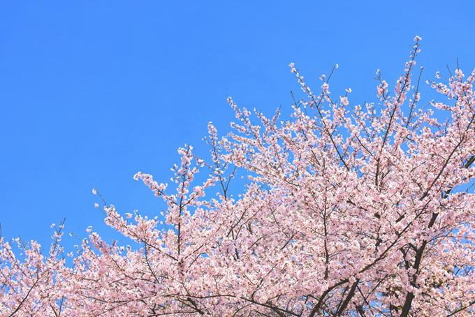 雲一つない空とサクラ(桜 ピンク)