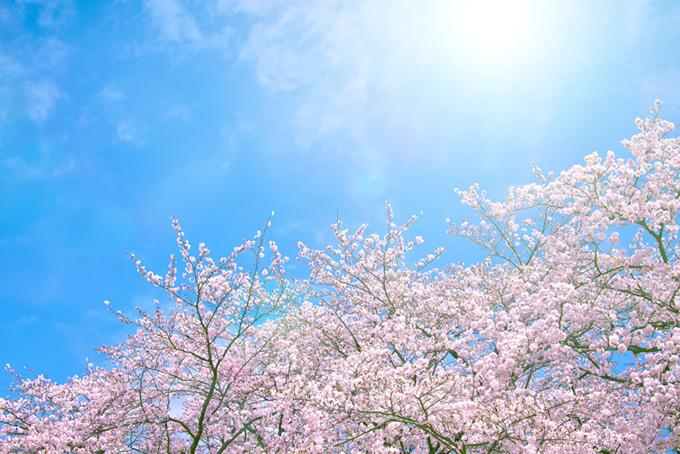 青空の下の桜(桜 空の背景フリー画像)