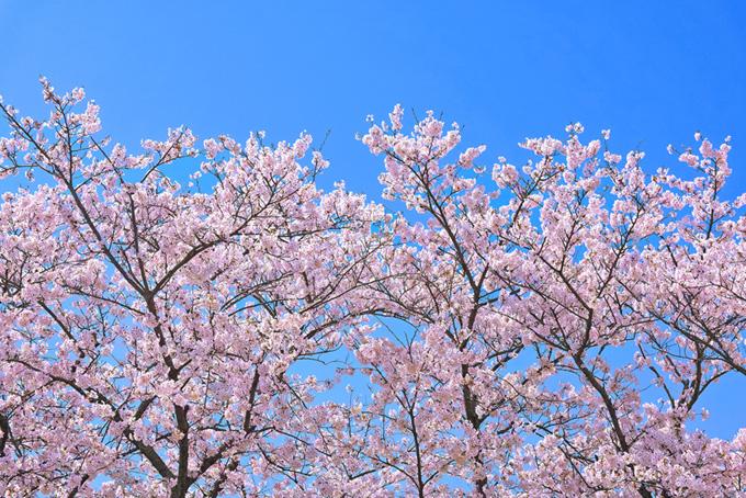 桜と澄み渡る空(桜 ピンク)