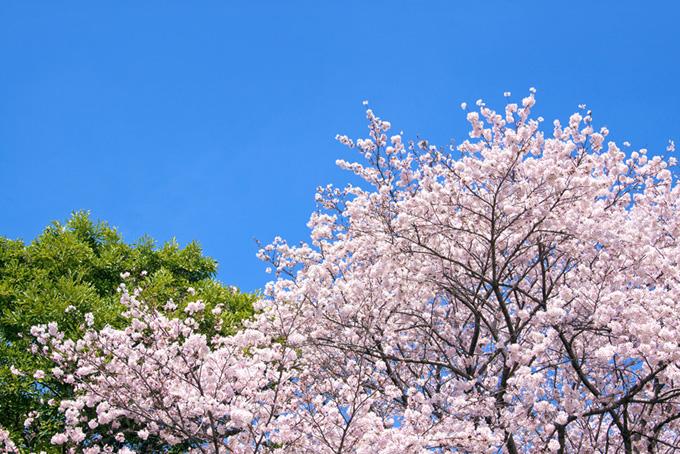 桜と新緑と空(桜 ピンク)