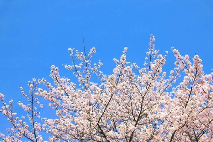 青空の下の桜(桜 壁紙の画像)