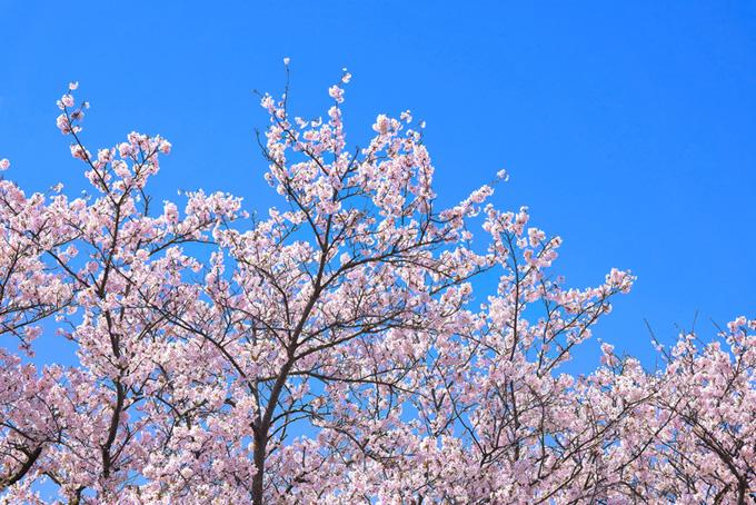 清らかな空に伸びる桜(桜 ピンク)