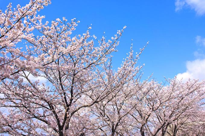 春の桜景色(桜 壁紙の画像)