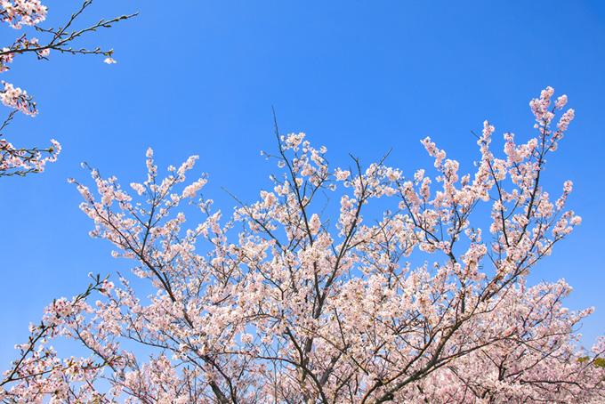 桜と青空の背景(桜 壁紙の画像)