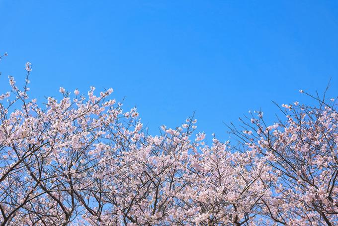 青空の下の桜(桜 春空の背景フリー画像)