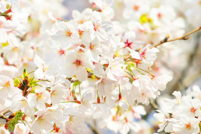 綺麗な桜の白い花(桜 白の画像)