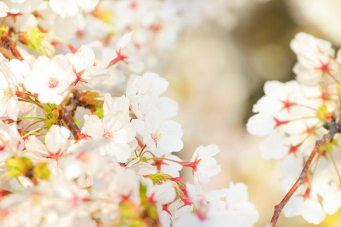 白いさくらの花の背景(桜 白の画像)