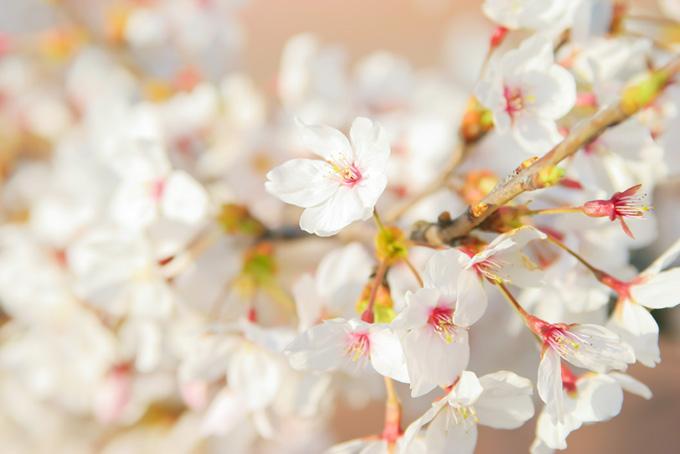 花咲くサクラの写真(桜 白の画像)