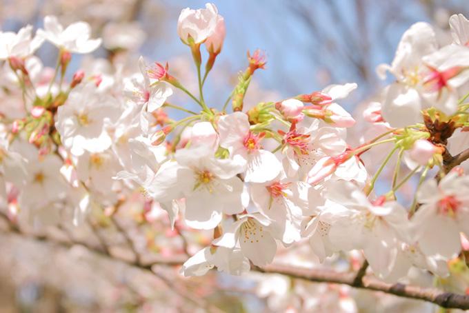 美しい桜の春景色(桜 白の画像)