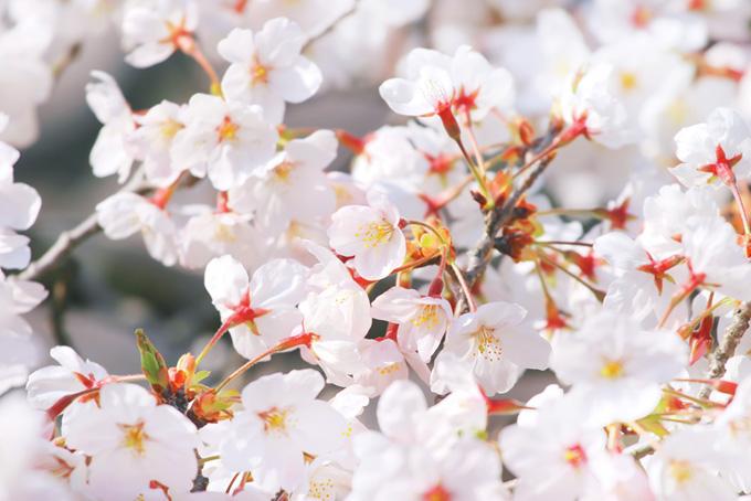 真っ白な花びらの桜写真(桜 白の画像)