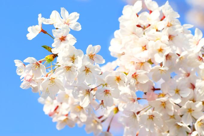 青空と白いさくらの花(桜 白の画像)