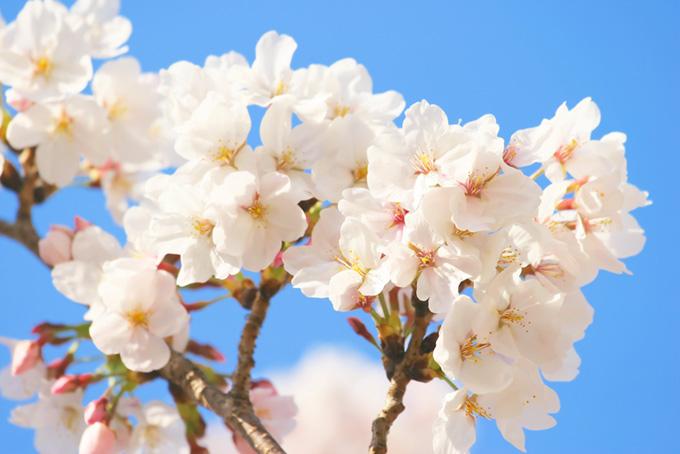 サクラの花とつぼみ(桜 白の画像)