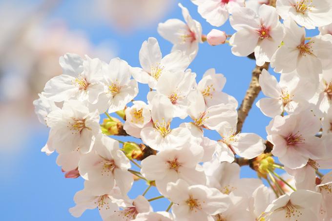 純白の桜の花びらと青い空(桜 白の画像)