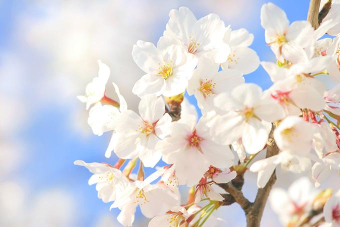 桜の花びらの背景(桜 花びらの画像)