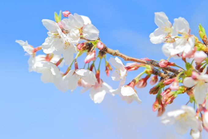 青空に映える白い花とピンクの蕾(桜 蕾の画像)