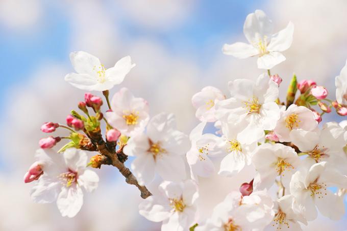 開花する桜の花と膨らむ蕾(桜 蕾の画像)