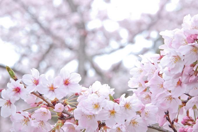 白い花びらとピンクのつぼみ(桜 花の画像)