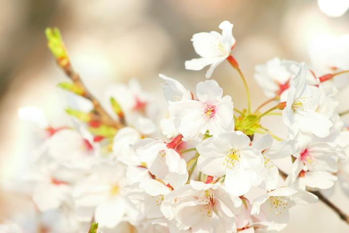 ソメイヨシノの白い背景(桜 白の画像)