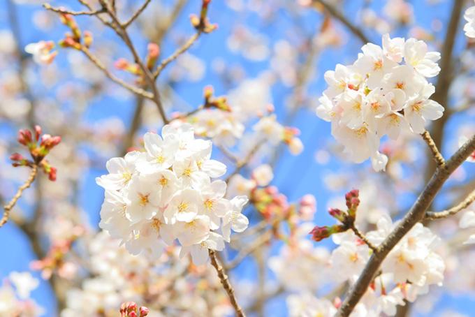花開く桜と蕾の枝(桜 蕾の画像)