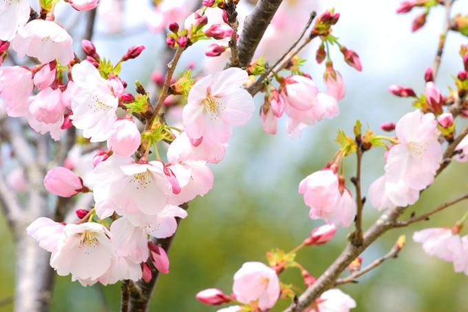 河津桜の花とつぼみ(桜 蕾の画像)