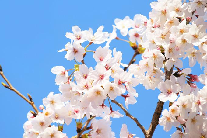 空に咲く爽やかな桜の白い花(桜 白の画像)