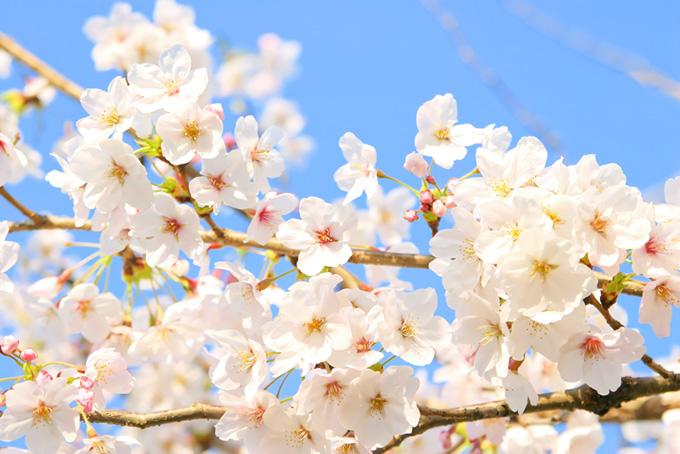 花とつぼみの桜の枝(桜 白の画像)