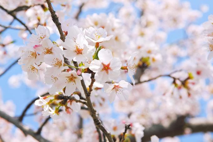 かわいい桜の白い花(桜 白の画像)