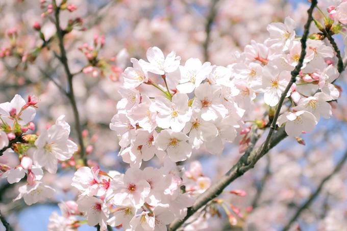 ピンクの蕾が可愛い染井吉野(桜 蕾の画像)