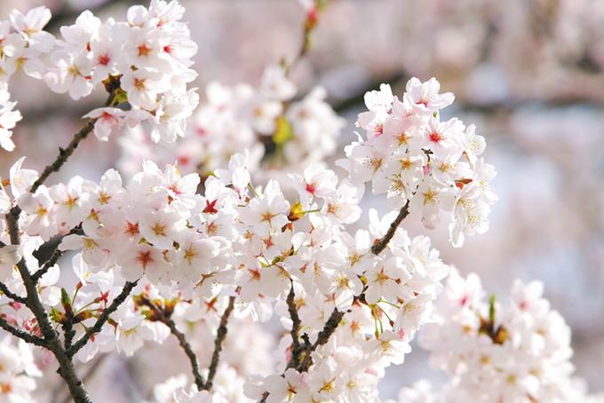 清らかな白い桜の花(桜 白の画像)