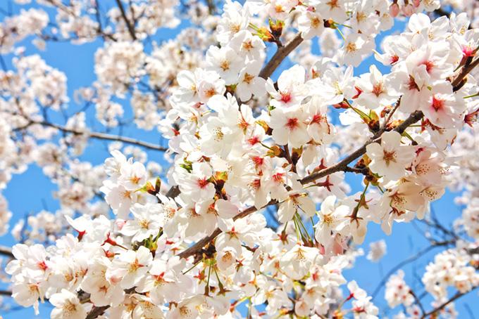 満開の染井吉野の花(桜 白の画像)
