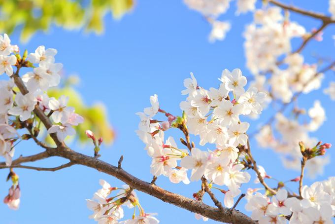 ソメイヨシノの花と蕾(桜 蕾の画像)