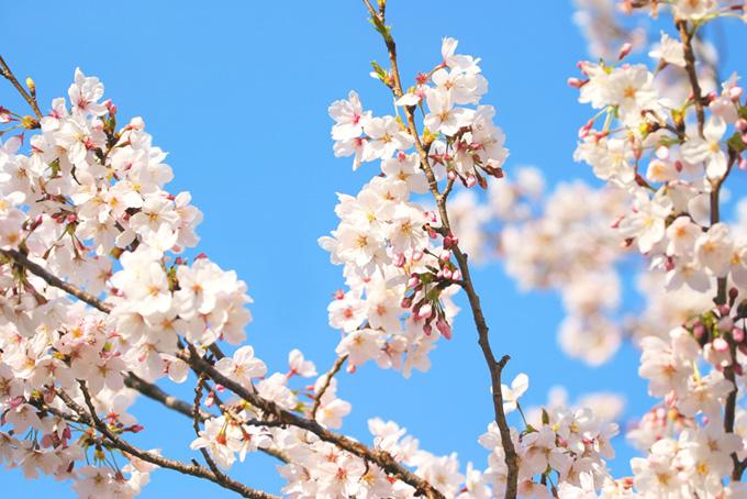 桜の花と蕾が残る枝(桜 蕾の画像)