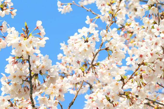 白い桜の花と青空(桜 蕾の画像)