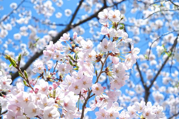 花と膨らむツボミの春桜(桜 蕾の画像)