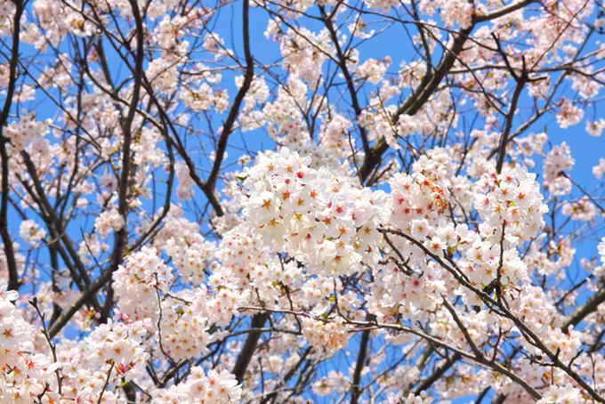 花をつける桜の木(桜 白の画像)