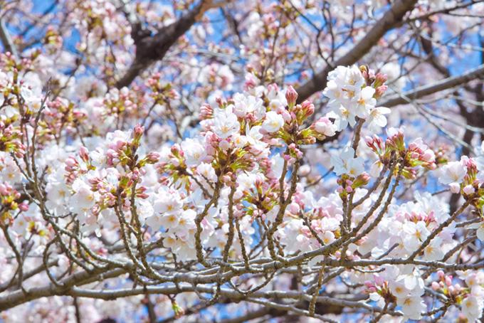 沢山のつぼみを付けた桜の枝(桜 蕾の画像)