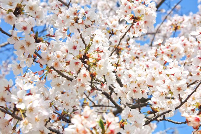蕾が混ざる白い桜の花(桜 白の画像)