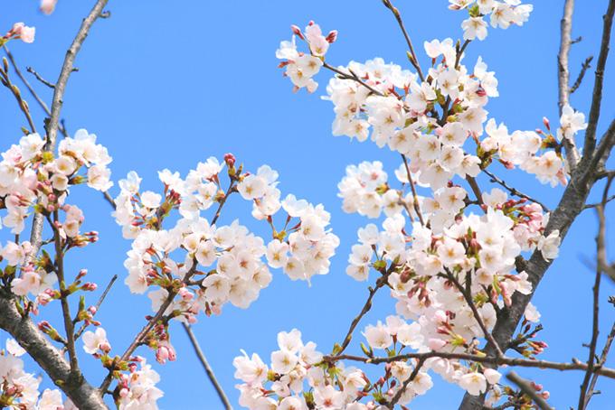 純白の花とつぼみを付けた桜(桜 蕾の画像)
