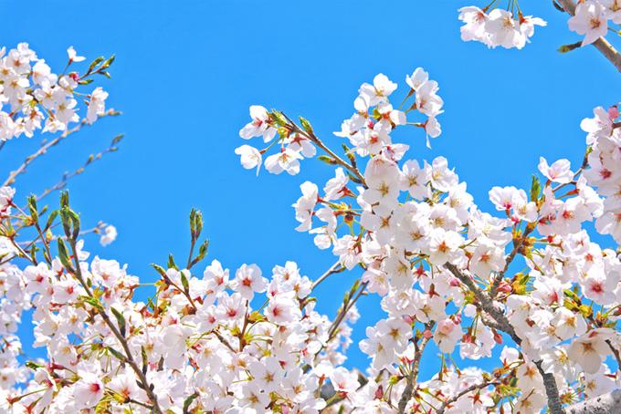さくらの花と緑のツボミ(桜 蕾の画像)