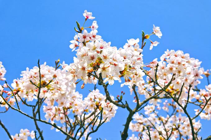 花の中に蕾が残る桜の枝(桜 蕾の画像)