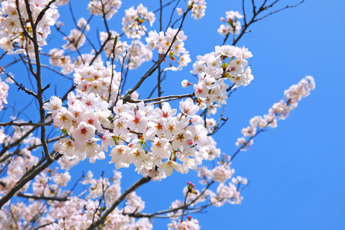 五分咲きの桜と青空(桜 白の画像)