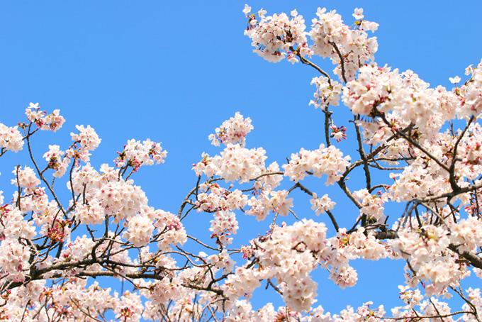 枝先に花を付けた桜(桜 白の画像)