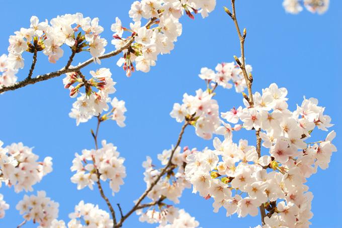 白い桜の花と硬い蕾の枝(桜 蕾の画像)