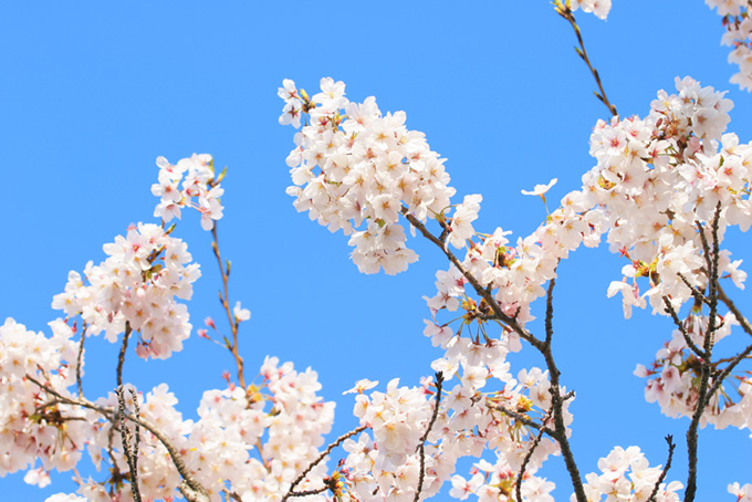 サクラの花と青い背景(桜 白の画像)