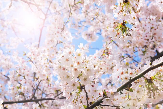 さくらの花の背景