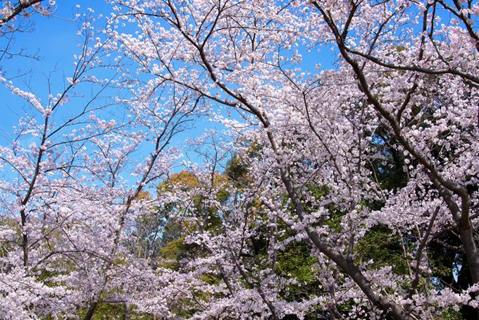 さくら林と青空(桜 風景の背景フリー画像)